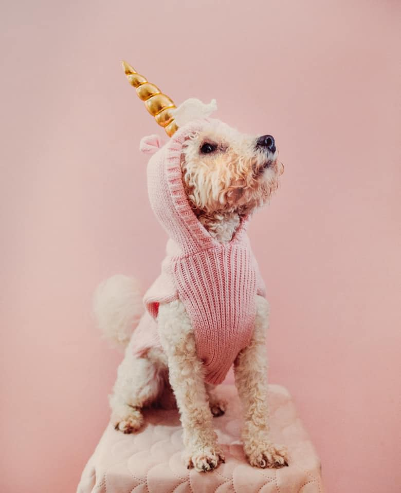 a poodle on a stool looking up and pretends to be a unicorn