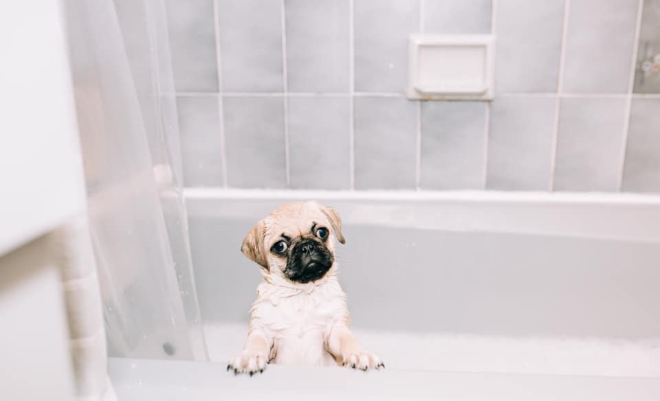 A pug in the bathtub looks directly into the camera