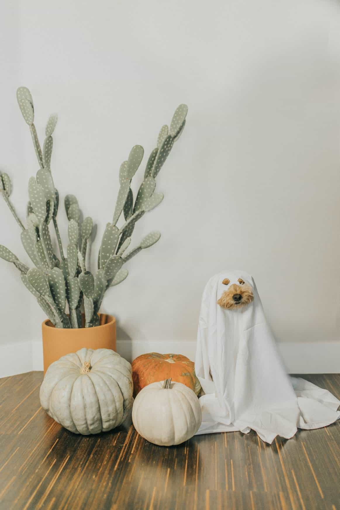 A dog dressed like a ghost stands next to pumpkins and a cactus