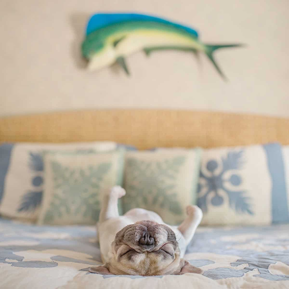 A french bulldog lies on his back on a bed and sleeps.
