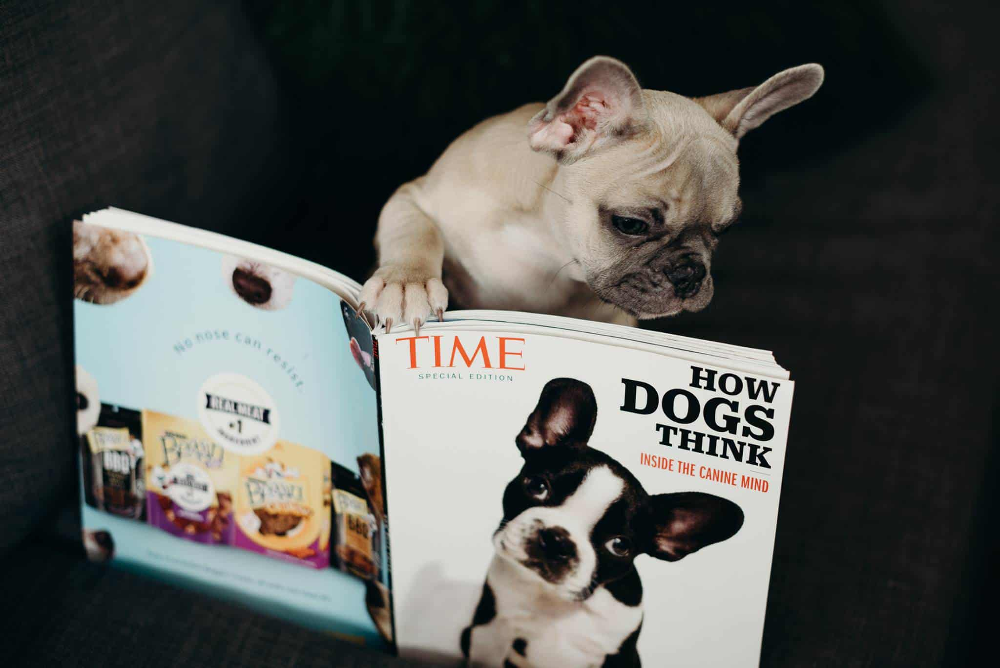 A French bulldog reads the TIME magazine on a couch