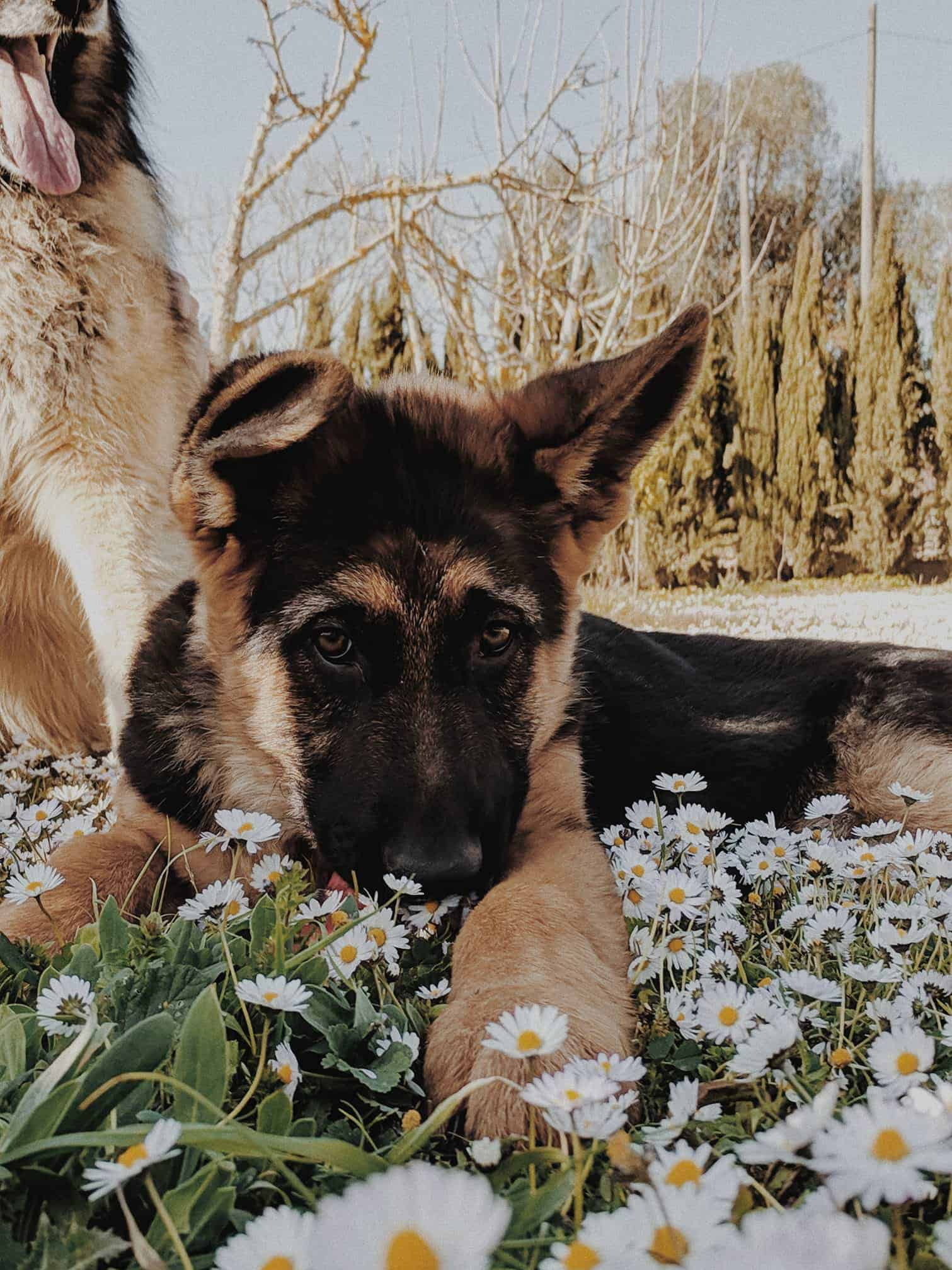 A German shepherd puppy lies on a field full of daisies