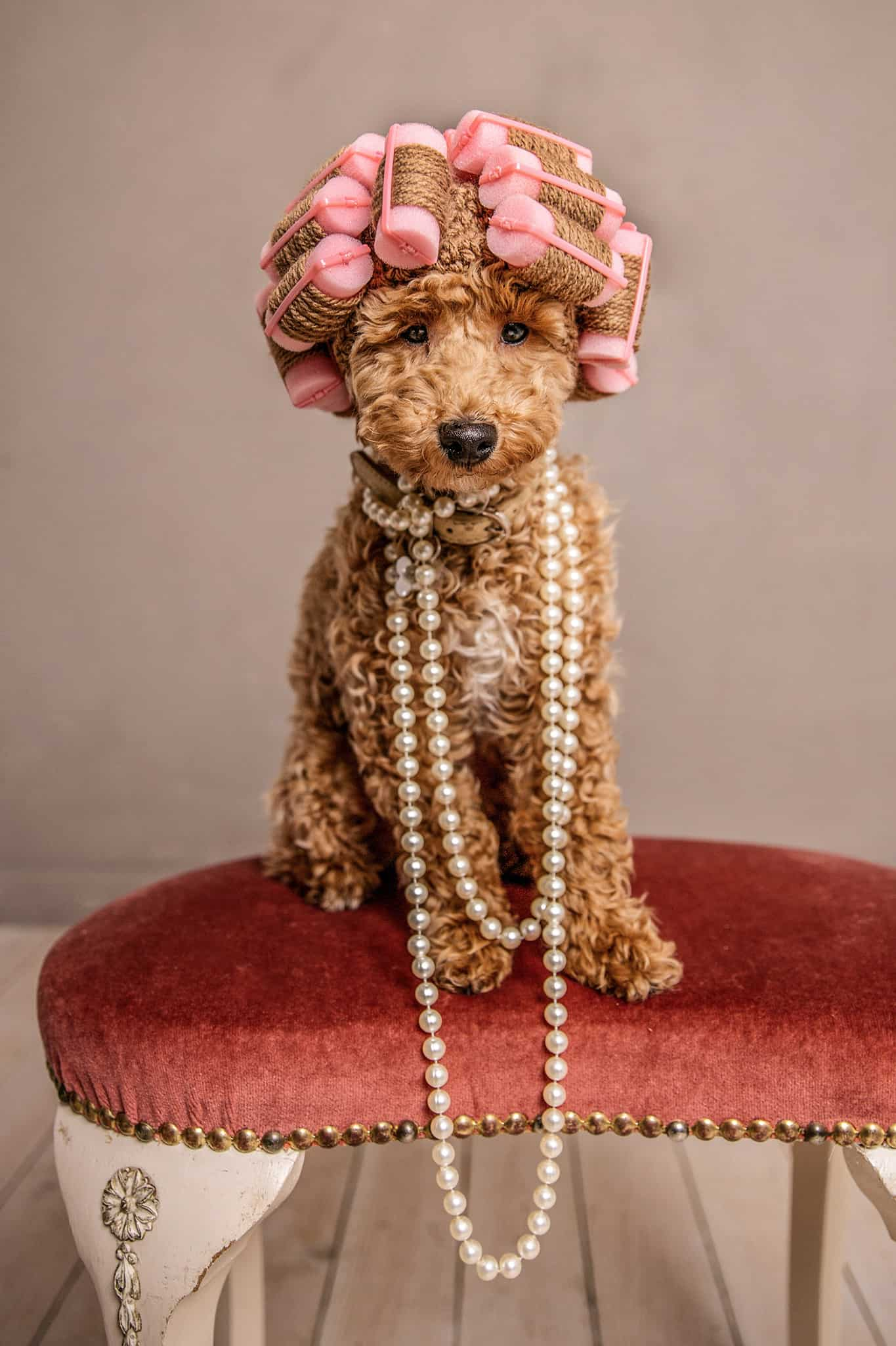 a poodle wearing curlers and a long necklace