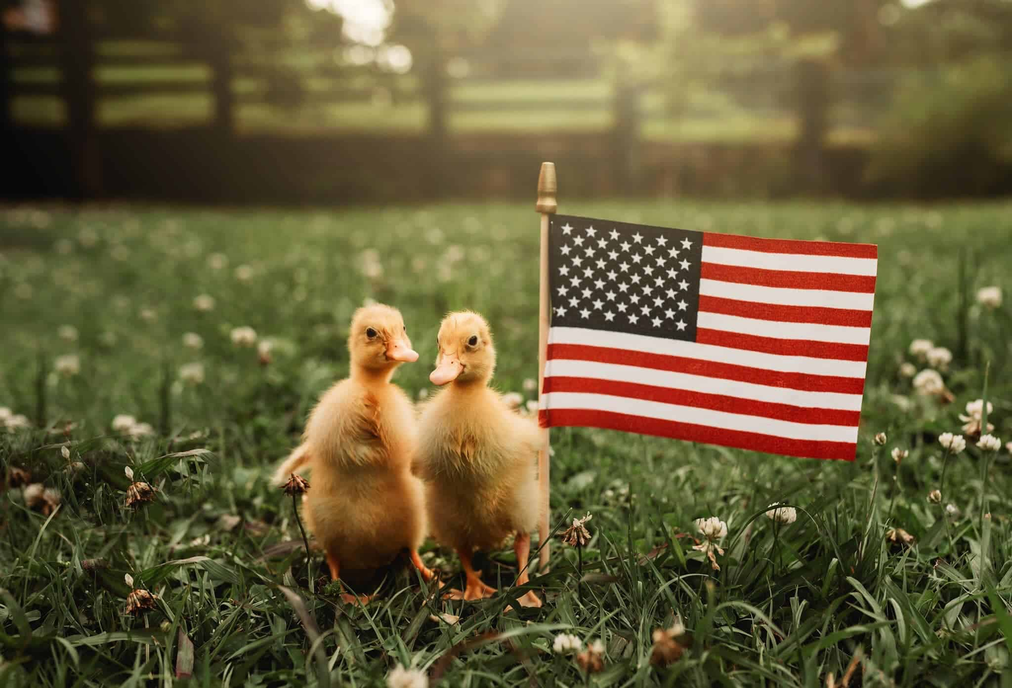 Two baby ducklings next to a tiny US flag