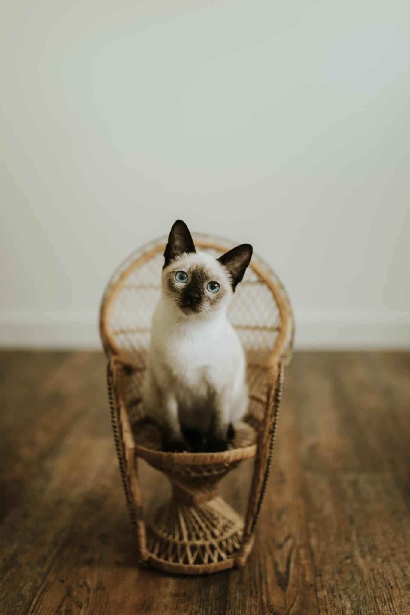 cats are beautiful animals, this one is sitting on a small chair