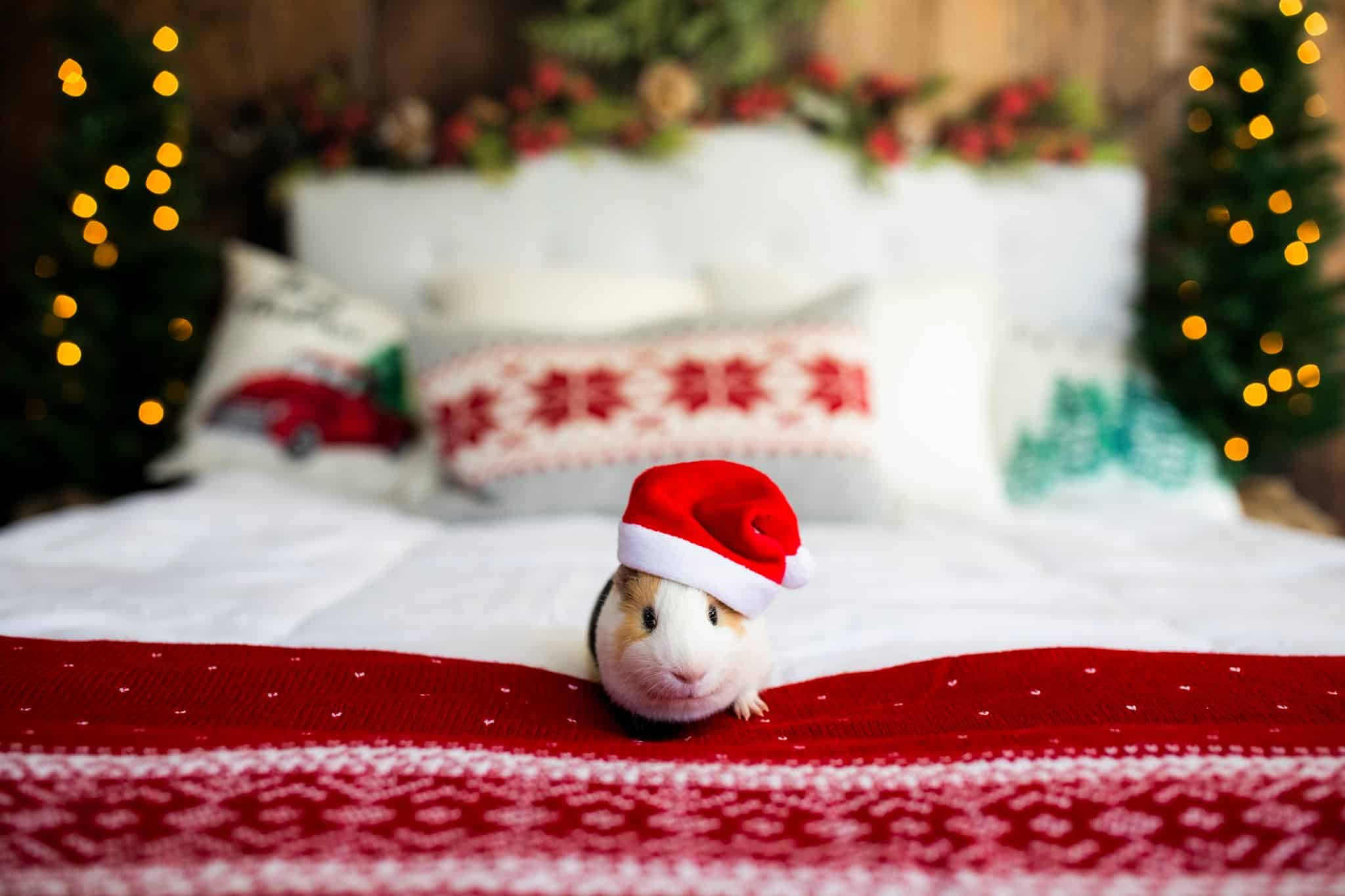 guinea pigs are beautiful animals, and this one is sitting on a bed and wears a Christmas hat