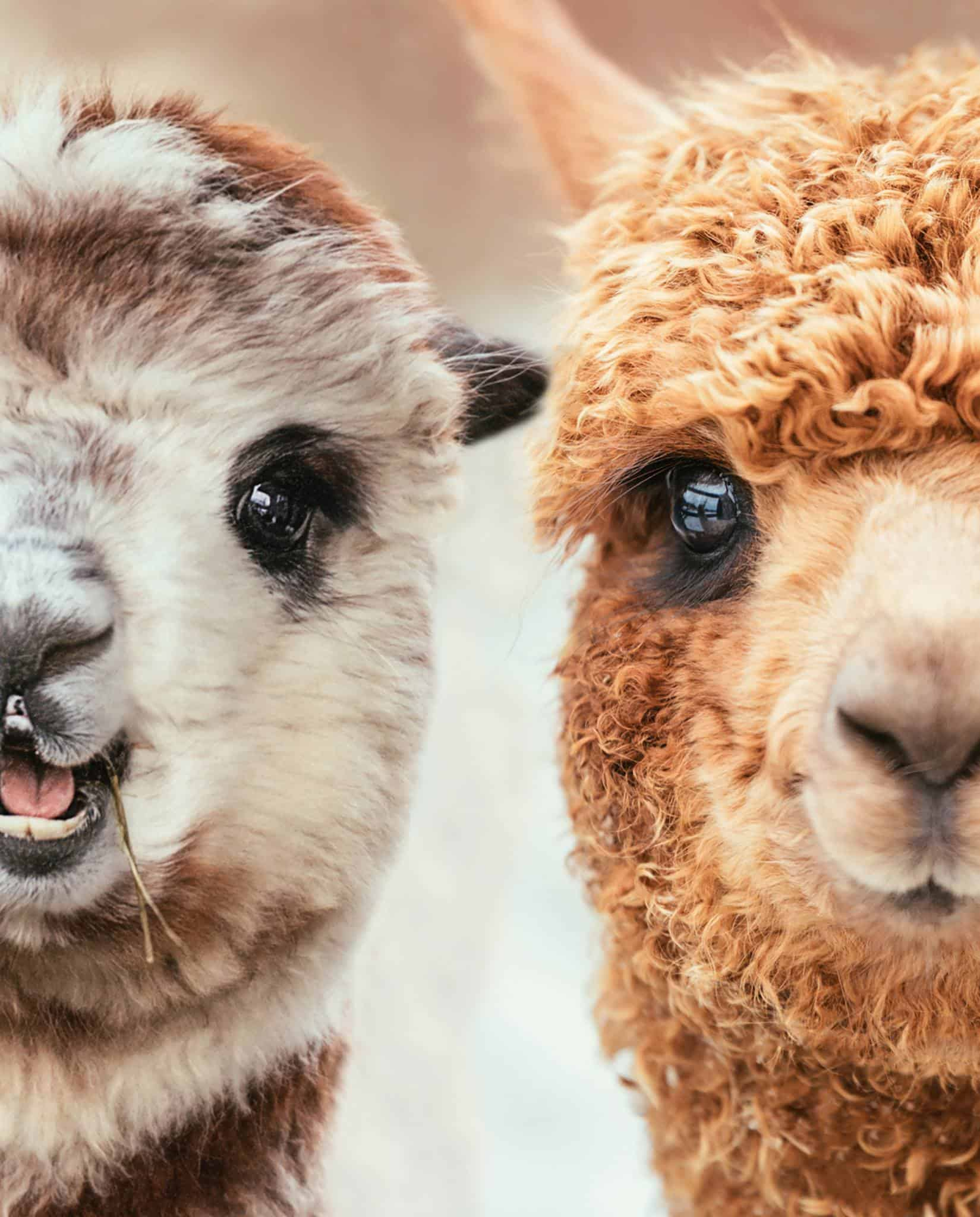 alpacas are beautiful animals, and these two are looking straight into the camera