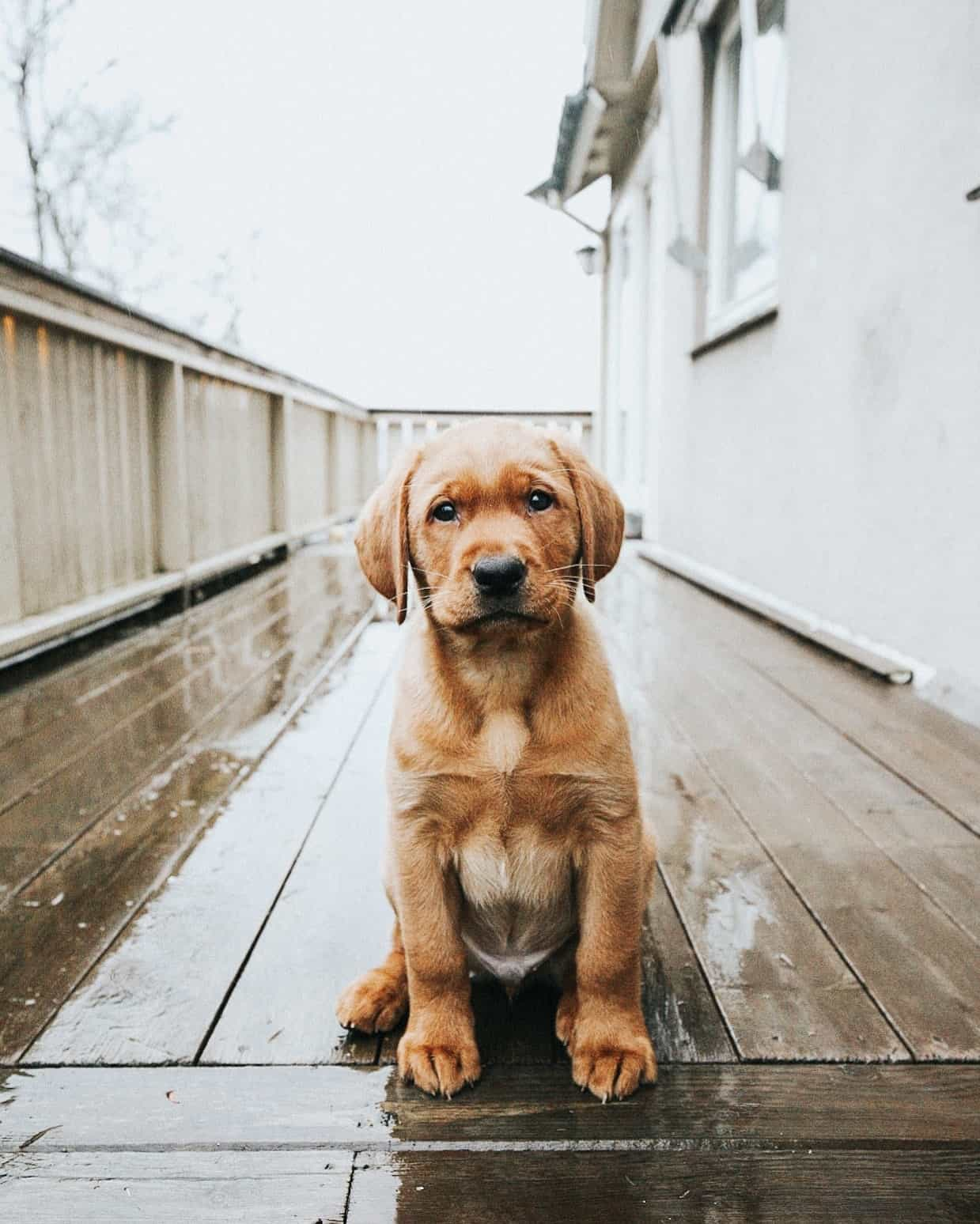 Puppies are beautiful animals, and this one is sitting on a porch.