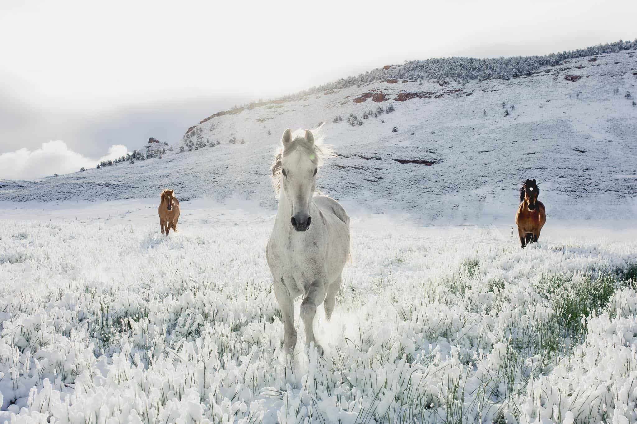 three horses are running over snow-cover grass, they are truly beautiful animals