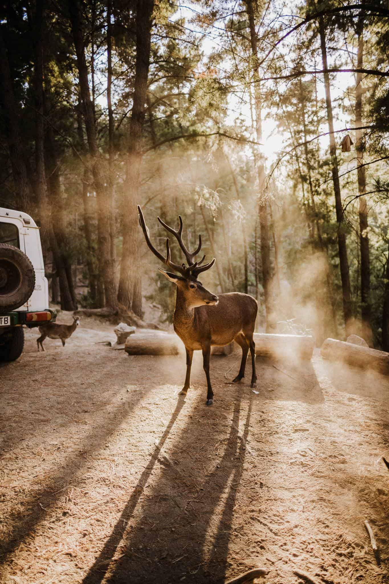 deers are beautiful animals, this one waits in a sunbeam