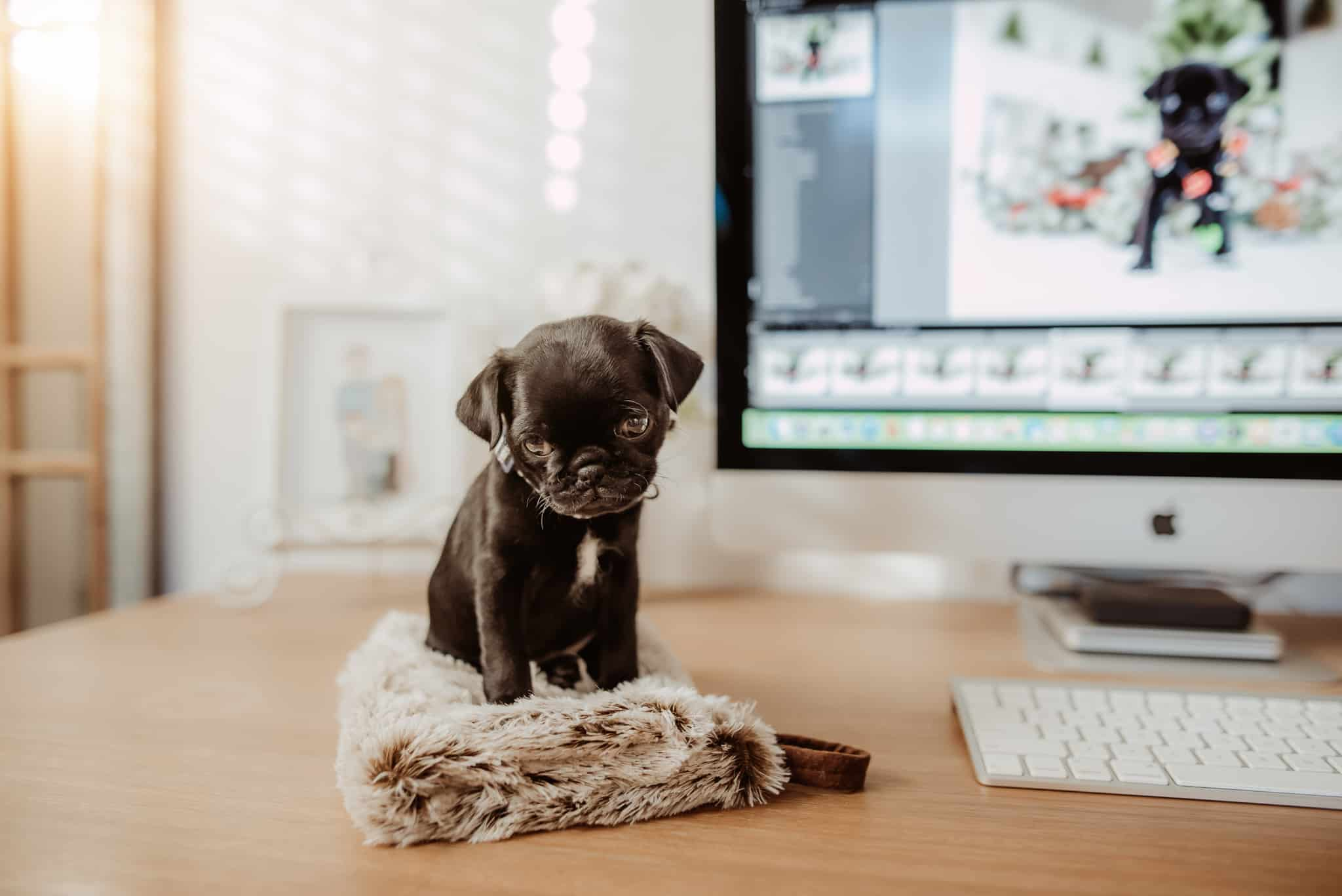 a beautiful animal, a puppy, is sitting on a desk.