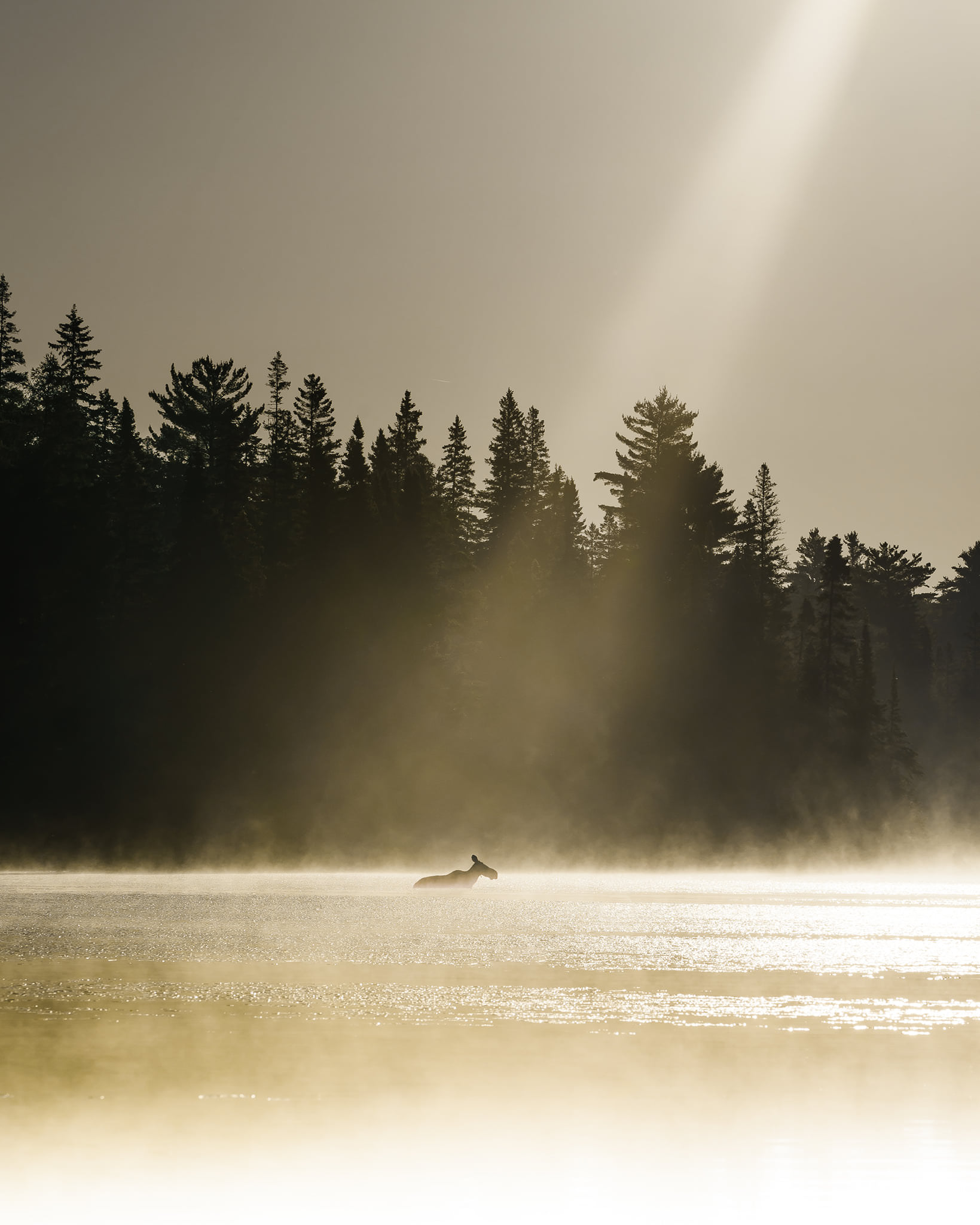 a moose walks crosses a river on a sunny day
