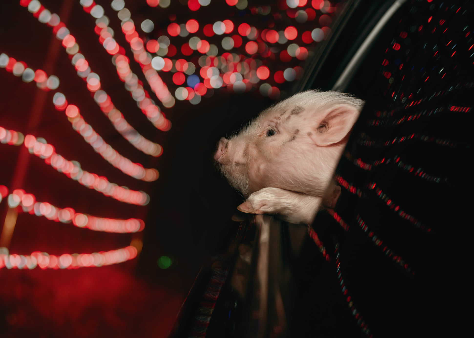 a cute mini pig looks on red Christmas lights from a car window