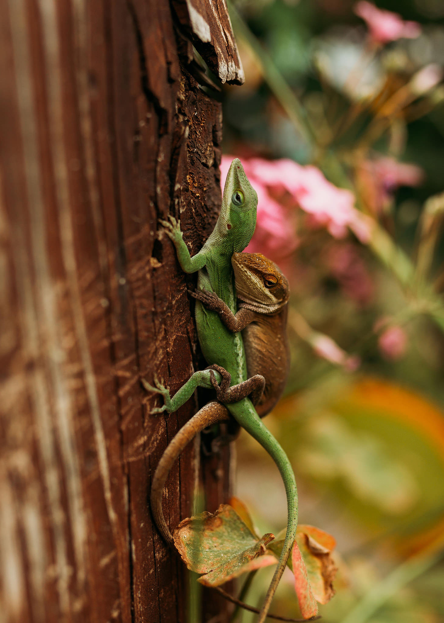 a green lizard climbs up a tree, while a brown lizard is on the green's back