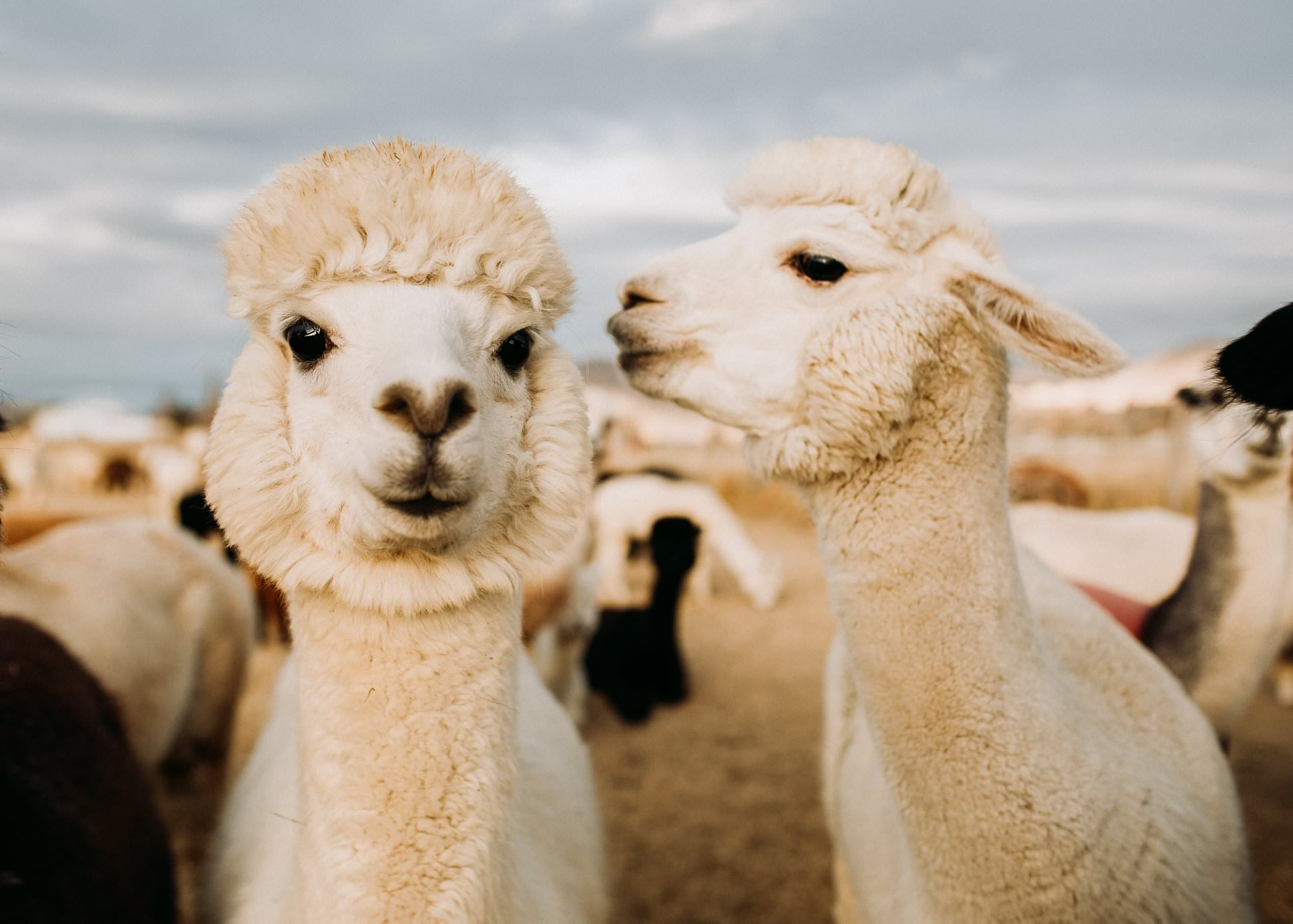 an alpaca is about to kiss another alpaca