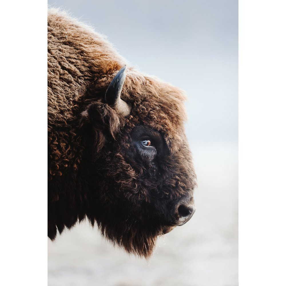 a portrait from the side of a bison