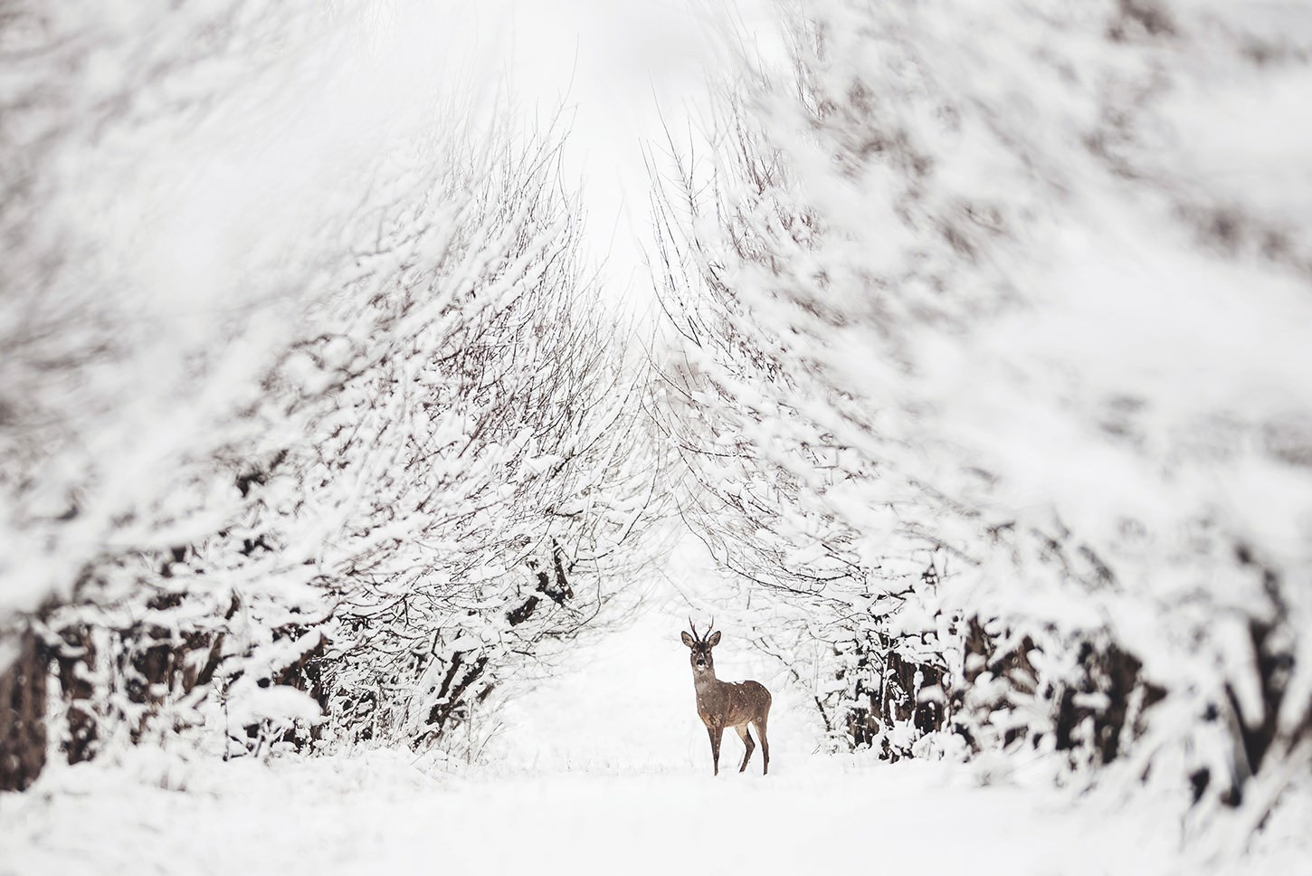 a deer stands on a path in a snowy forest