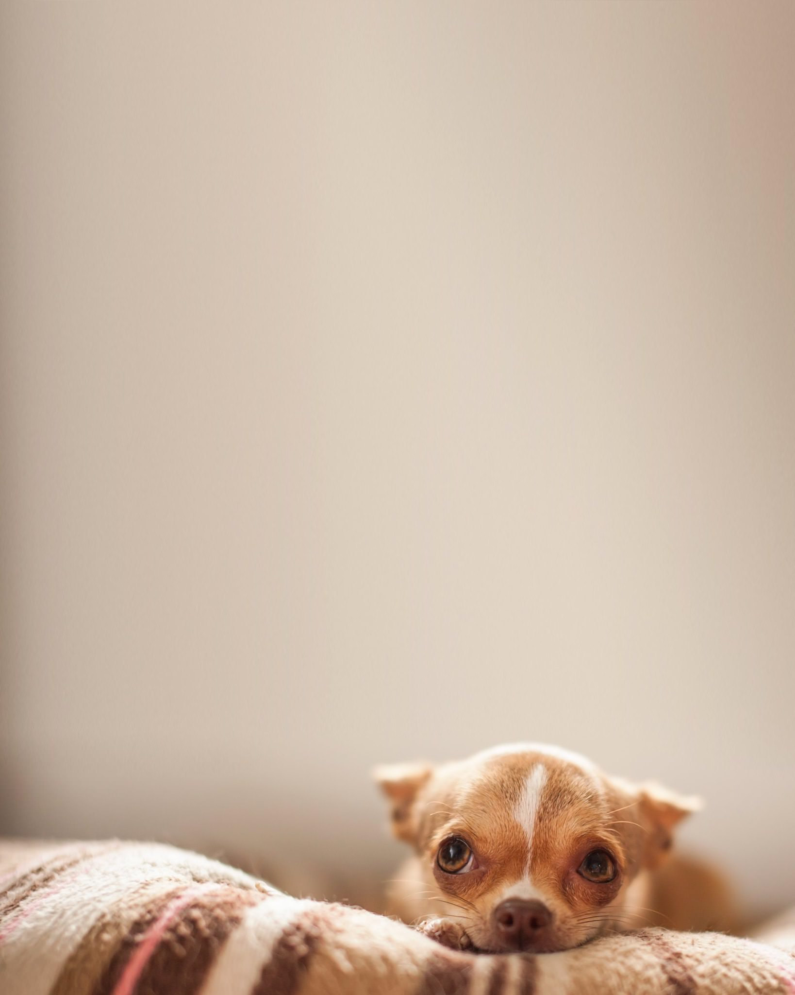 a chihuahua lies on the bed and looks up