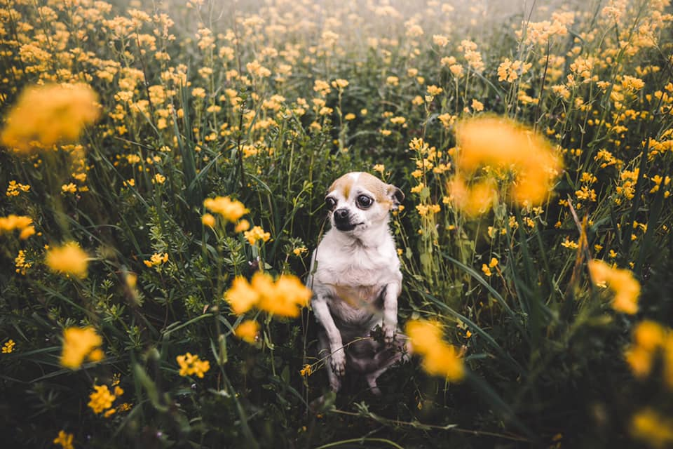 a chihuahua sits in a field of yellow flowers