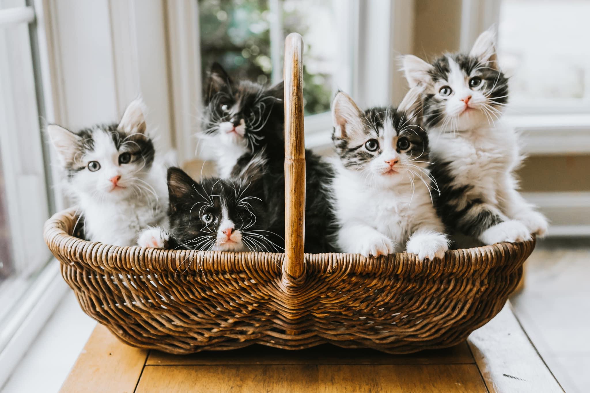 Five cute kittens sit in a basket.