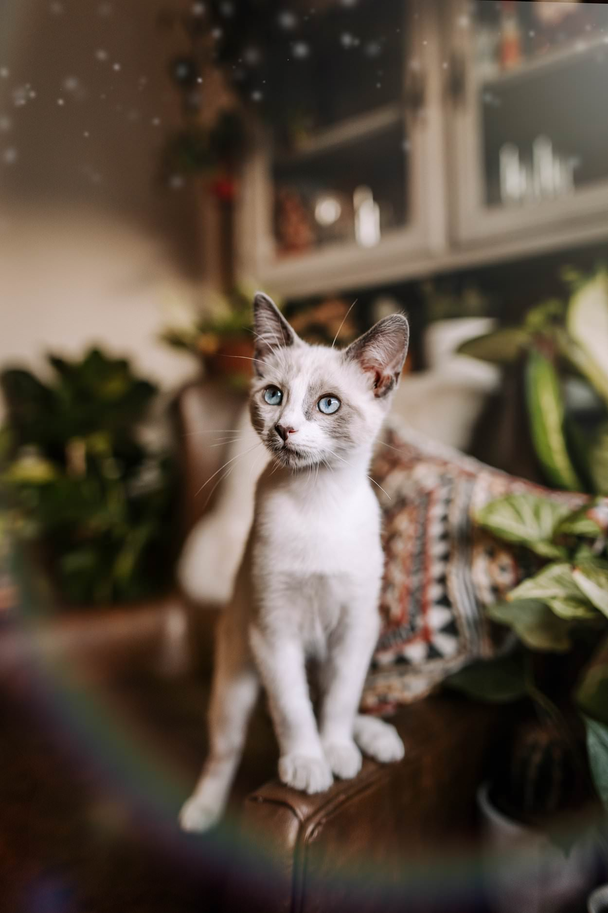 a white kitten with blue eyes stands on a couch in a living room