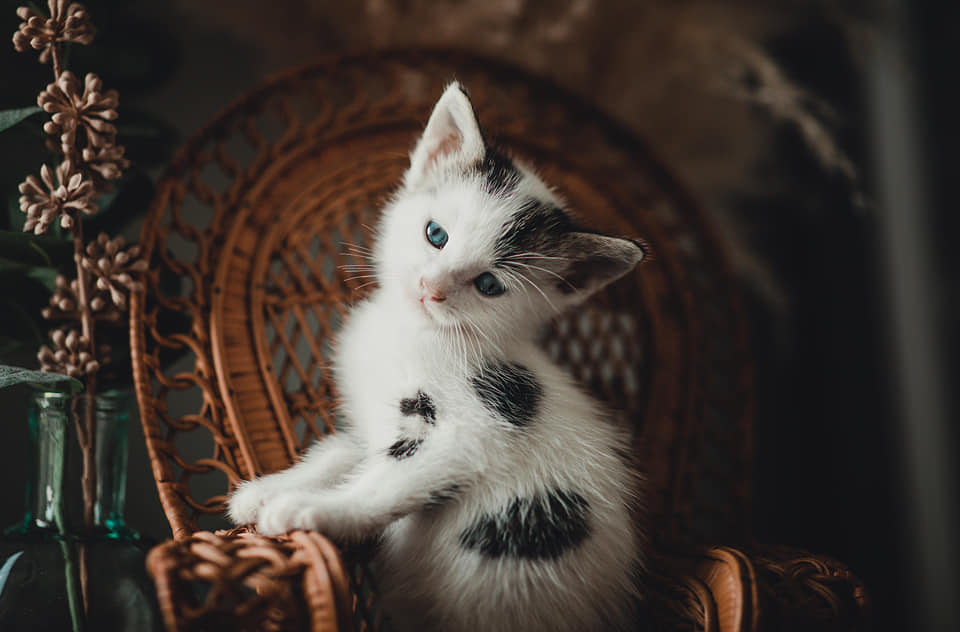 a cute white kitten with black freckles sits on a small chair