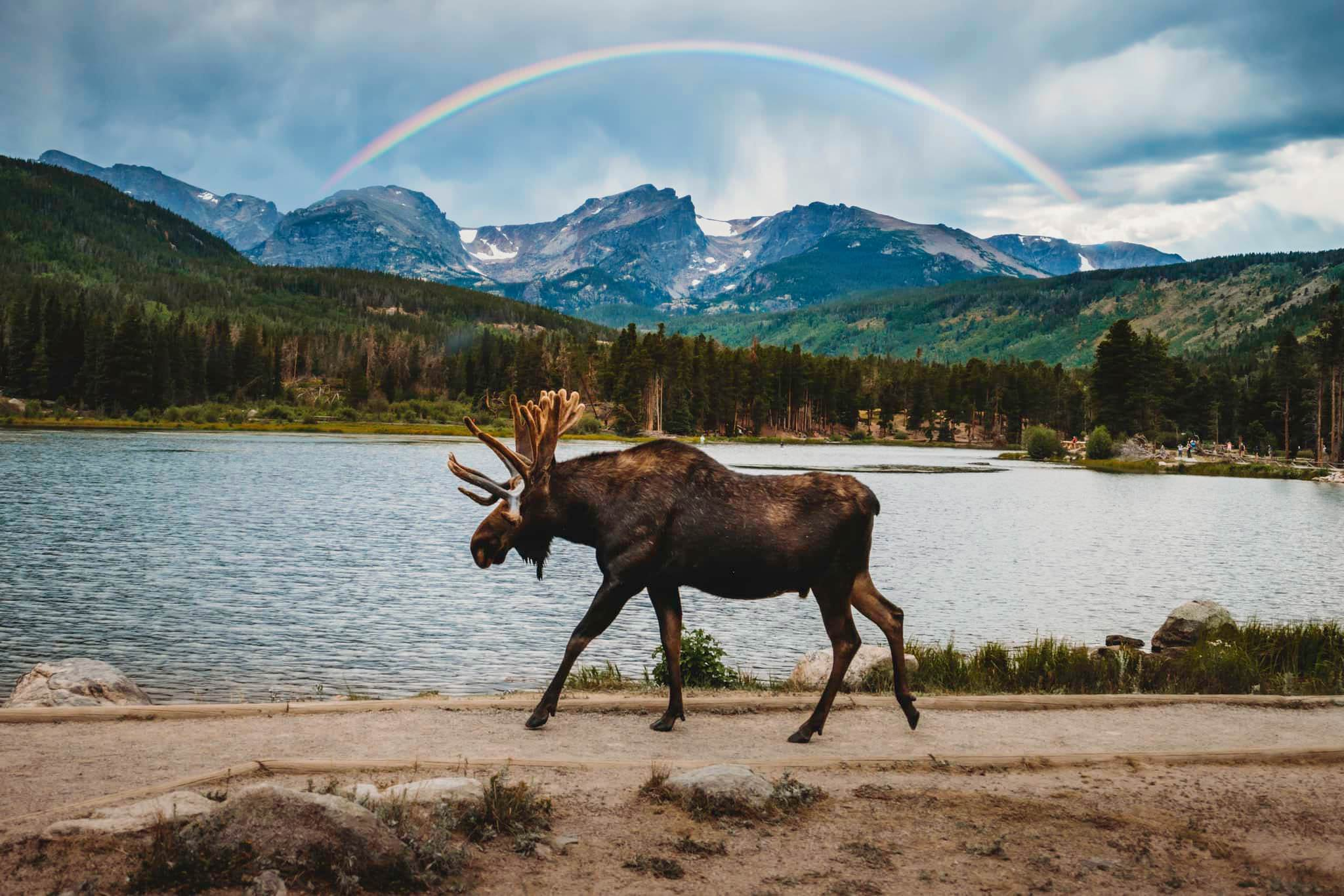 a moose walks on a way by a lake with mountains and a rainbow in the background