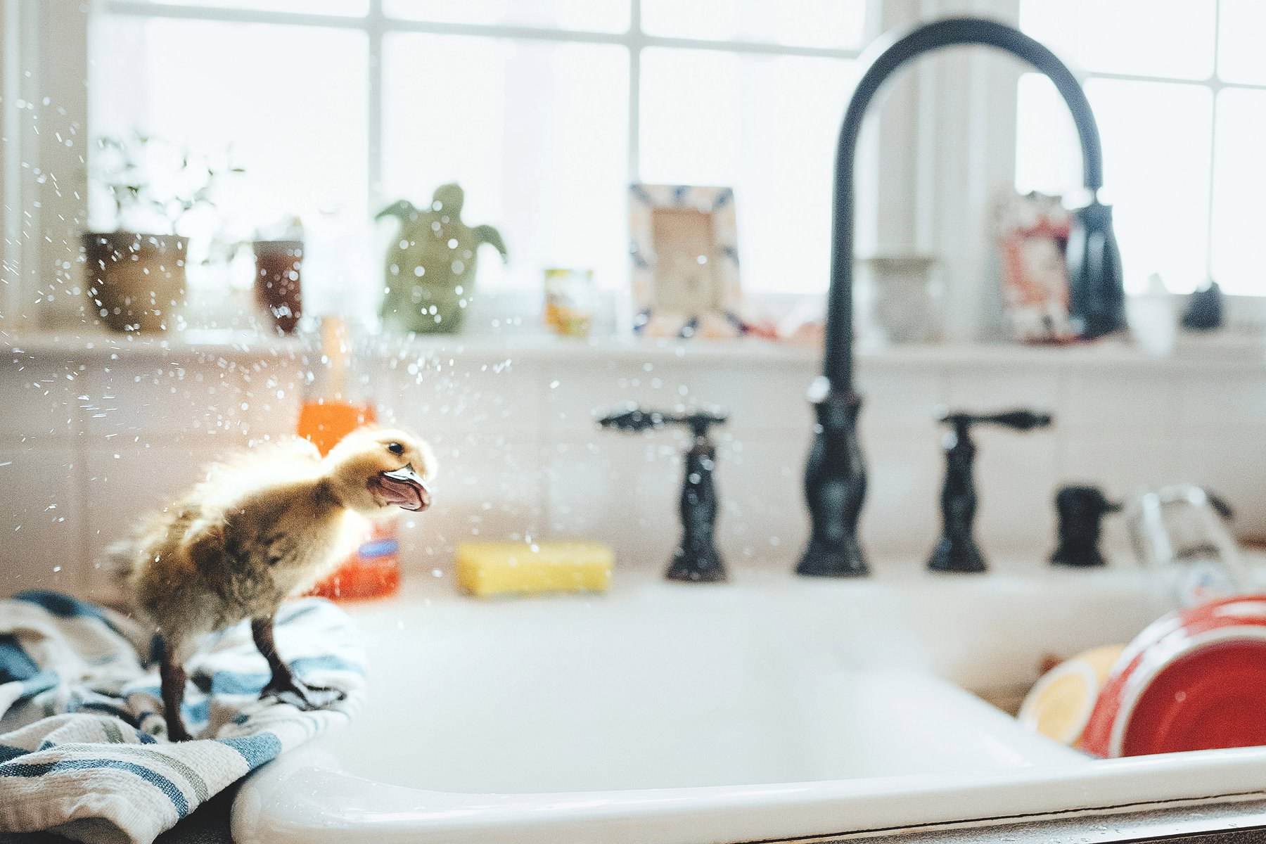 a duck shakes itself dry after bathing in a sink
