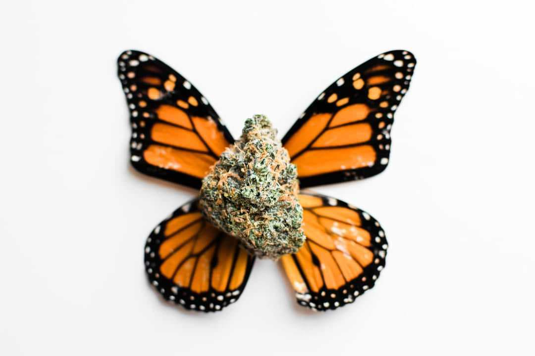 a photo of a hemp bud with butterfly wings